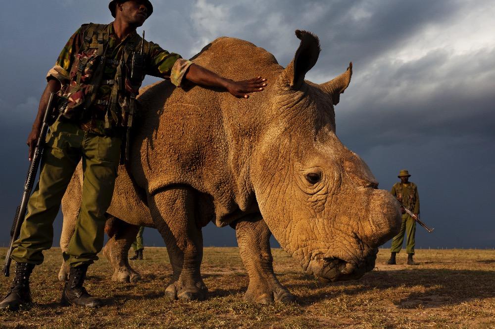 Northern White Rhino_Sudan