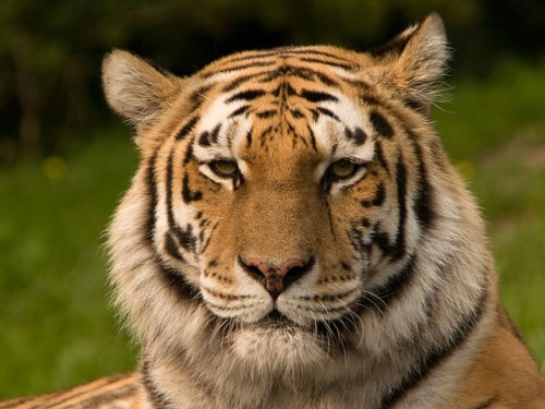 Tiger-trophy