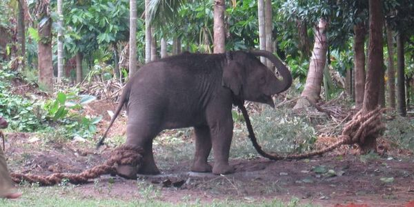 Elephant_baby being broken