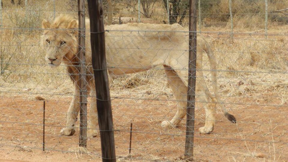 Lion_Starved_1