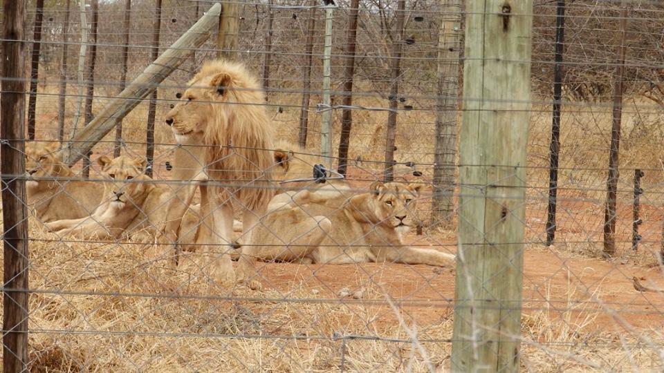 Lion_Starved_3