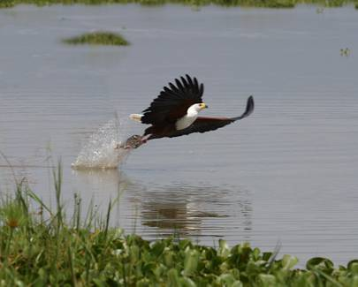fish-eagle-hunting