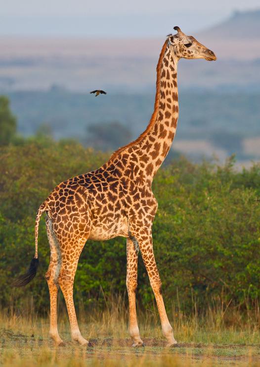 giraffe_2