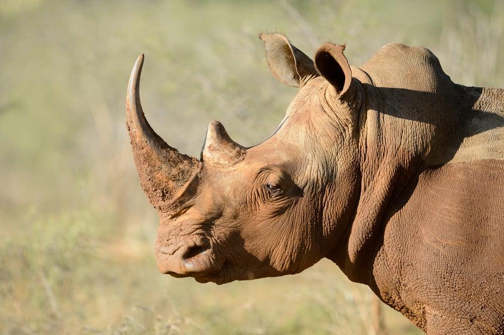 Rhino_ Credit Shutterstock