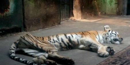 tiger-skin-and-bones